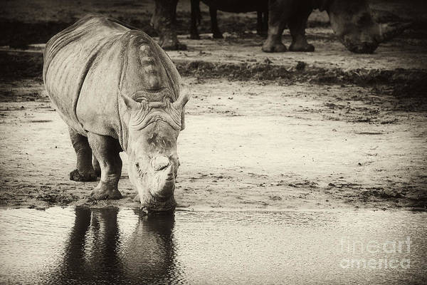 Two White Rhinos  Art Print