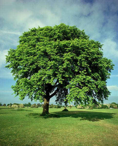 Elm Tree Photograph - Ulmus Glabra by Andrew Brown/science Photo Library