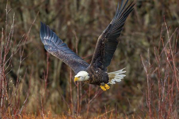 Wall Art - Photograph - Usa, Alaska, Chilkat Bald Eagle by Jaynes Gallery