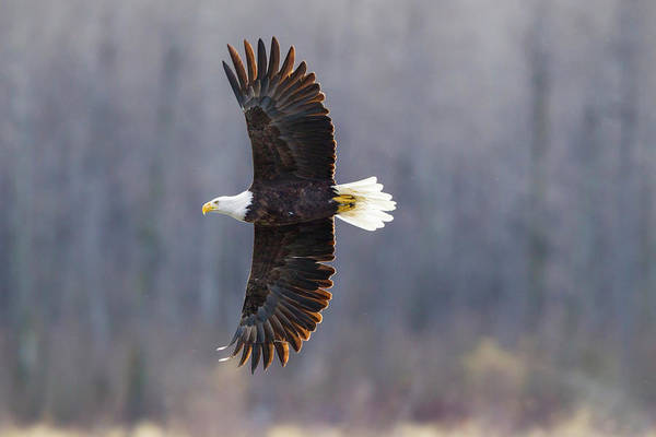 Flying Eagle Photograph - Usa, Alaska, Chilkat Bald Eagle Preserve by Jaynes Gallery