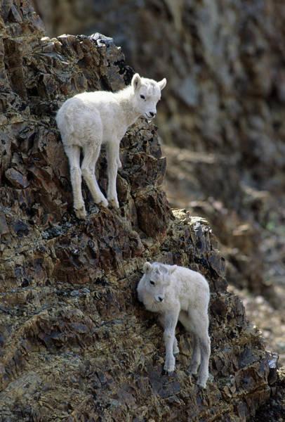 Wall Art - Photograph - Usa, Alaska, Dall Sheep, Dall Lamb by Gerry Reynolds