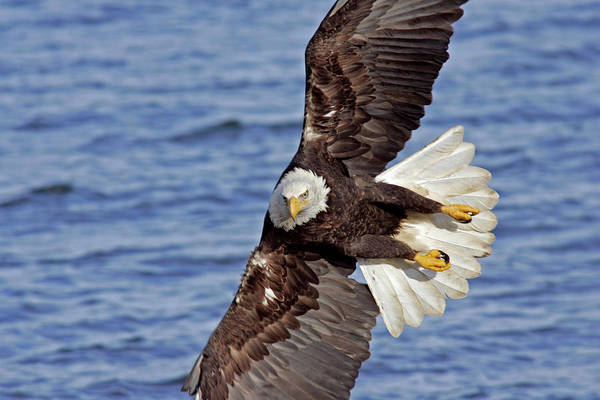Haliaeetus Leucocephalus Photograph - Usa, Alaska, Homer by Jaynes Gallery