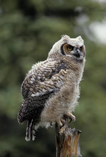 Alaskan Photograph - Usa, Alaska, Juvenile Great Horned Owl by Gerry Reynolds