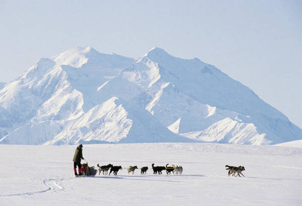 Determination Photograph - Usa, Alaska, Sled Dogs, Park Ranger by Gerry Reynolds