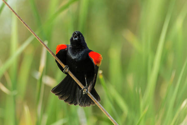 Red-winged Blackbird Wall Art - Photograph - Usa, Arizona, Sonoran Desert by Jaynes Gallery