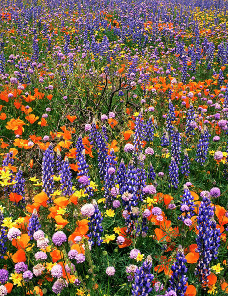 California Poppy Photograph - Usa, California, Gorman by Jaynes Gallery