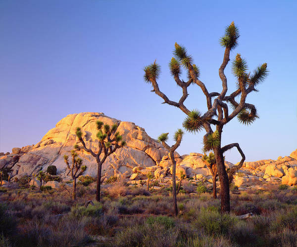 Wall Art - Photograph - Usa, California, Joshua Tree National by Jaynes Gallery