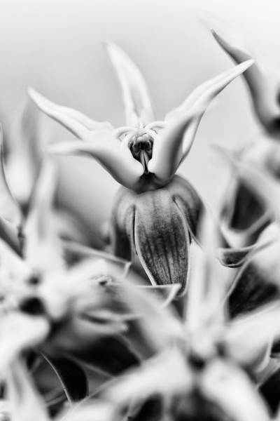 Showy Milkweed Wall Art - Photograph - Usa, California, Owens Valley by Jaynes Gallery