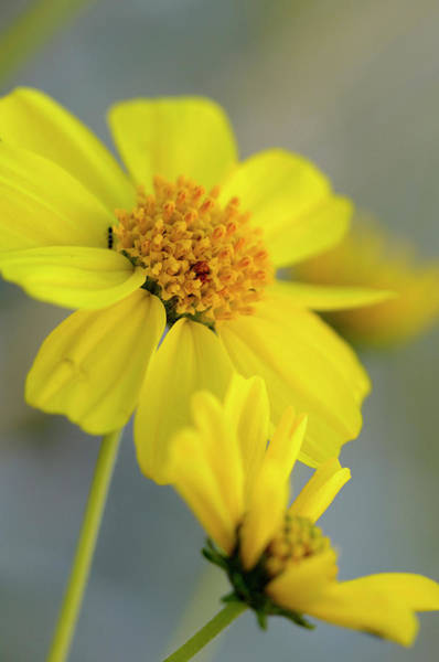 Asteraceae Wall Art - Photograph - Usa, California, Palm Springs, Indian by Kevin Oke