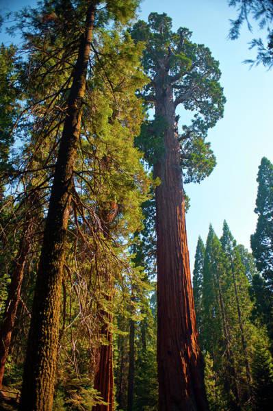 Sequoia Grove Photograph - Usa, California, Sequoia, Kings Canyon by Bernard Friel