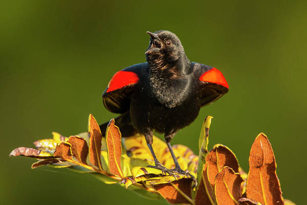 Red-winged Blackbird Wall Art - Photograph - Usa, Florida, Green Cay, Wakodahatchee by Jaynes Gallery