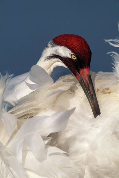 Whooping Cranes Photograph - Usa, Florida, Lake Kissimmee by Jaynes Gallery