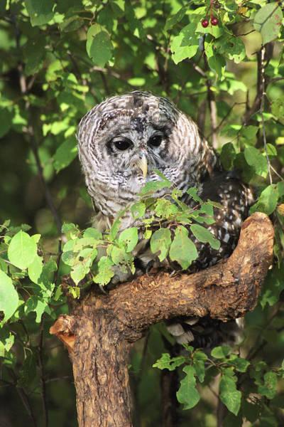 Barred Owl Photograph - Usa, Montana, Kalispell by Jaynes Gallery