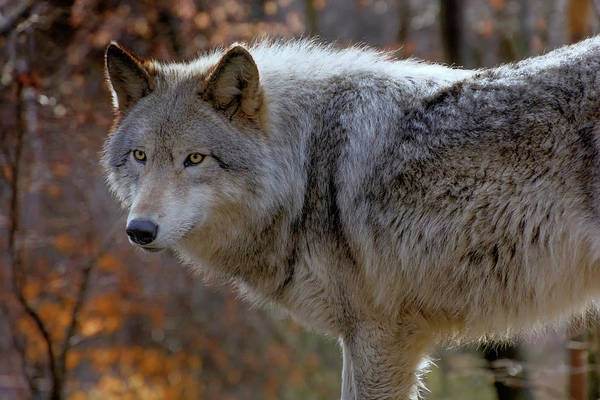 Timber Wolves Photograph - Usa, New Jersey, Columbia, Lakota Wolf by Jaynes Gallery