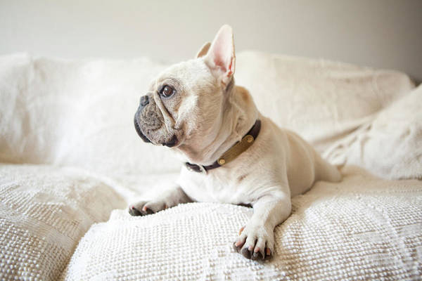 French Bulldog Photograph - Usa, New York State, New York City by Jessica Peterson