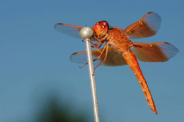 Odonata Photograph - Usa, Oregon, Keizer, Male Flame Skimmer by Rick A Brown