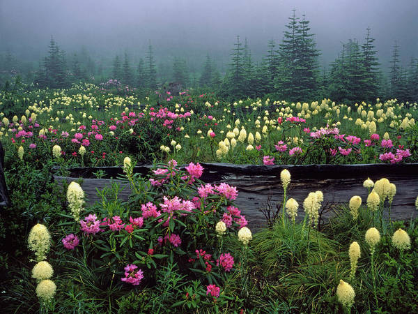 Alpine Meadows Photograph - Usa, Oregon, Mt Hood National Forest by Jaynes Gallery