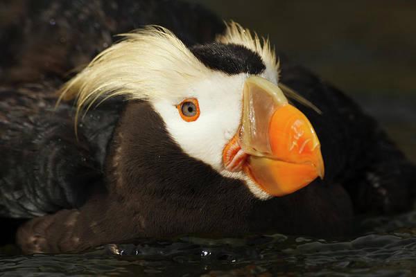 Alcidae Photograph - Usa, Oregon, Newport, Oregon Coast by Rick A Brown