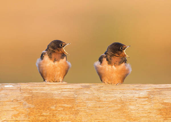 Swallow Photograph - Usa, Red Rock Lakes National Wildlife by Elizabeth Boehm