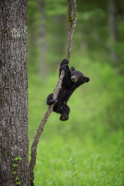 Cades Cove Photograph - Usa, Tennessee Black Bear Cub Playing by Jaynes Gallery