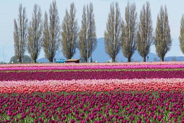 Mount Vernon Photograph - Usa, Washington, Mount Vernon, Tulip by Emily Wilson