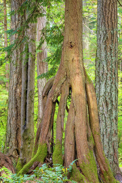 Hemlock Photograph - Usa, Washington State, Millersylvainia by Jaynes Gallery