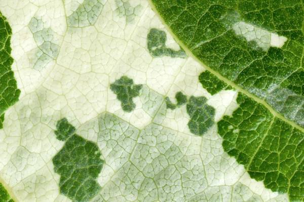 Photograph - Variegated Leaf Of Poplar 'aurora' by Dr Jeremy Burgess