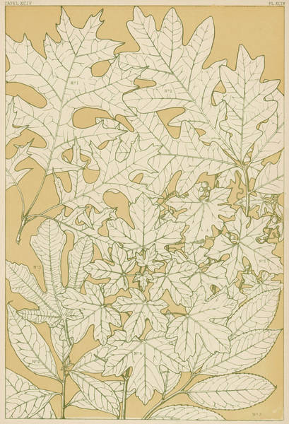 Maple Drawing - Various Leaves, Full-sized,  Traced by Mary Evans Picture Library