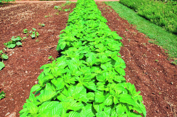 Vegetable Garden Photograph - Vegetable Garden At Thomas Jeffersons by Panoramic Images