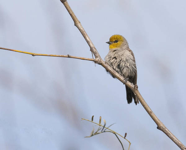 Photograph - Verdin by Tam Ryan