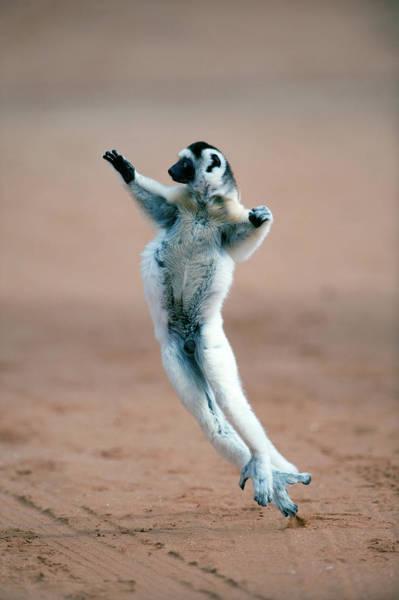 Animal Behavior Photograph - Verreauxs Sifaka Propithecus Verreauxi by Animal Images