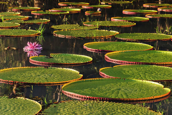 Victoria Amazonica Lily Pads And Flower Art Print