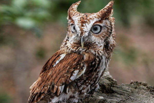 Screech Owl Photograph - Vienna, Virginia by Jolly Sienda