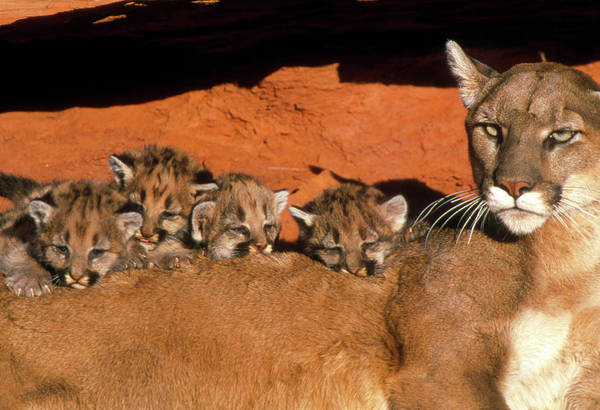 Puma Photograph - View Of A Female Mountain Lion With Her Kittens by William Ervin/science Photo Library