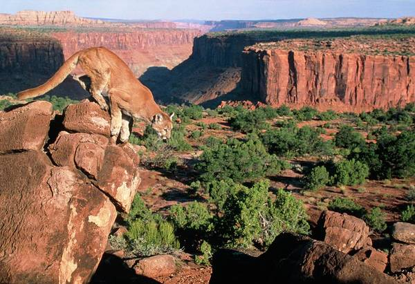 Puma Photograph - View Of Mountain Lion Leaping In A Redrock Canyon by William Ervin/science Photo Library
