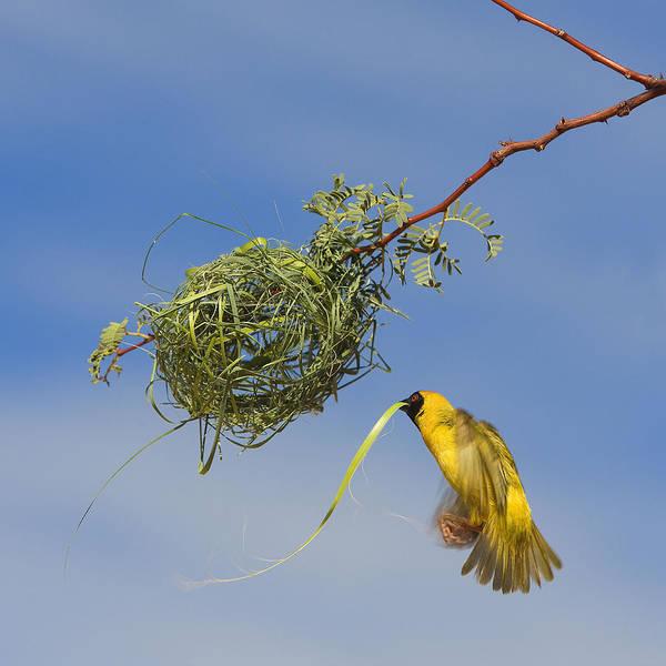 Wall Art - Photograph - Village Weaver At Nest by Jean-Michel Labat