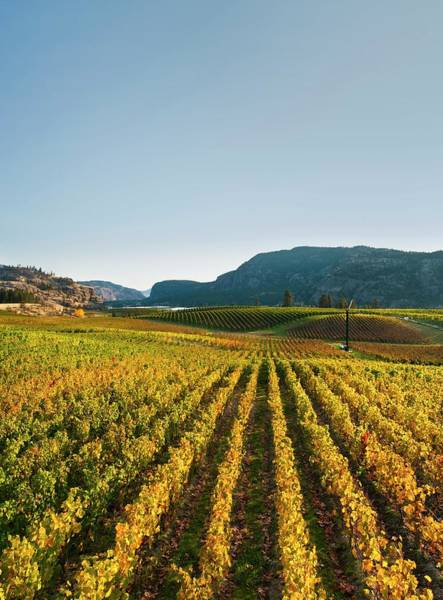 Okanagan Wall Art - Photograph - Vineyard In Autumn by David Nunuk/science Photo Library