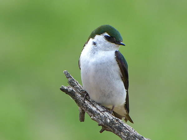 Violet-green Swallow Photograph - Violet-green Swallow by Jim Law