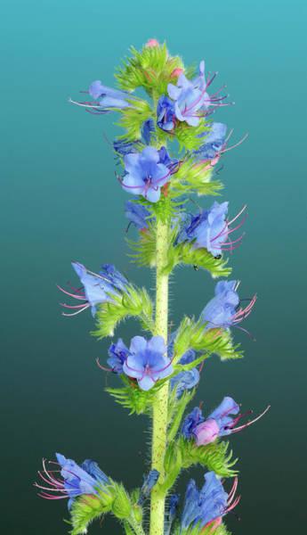 Biennial Photograph - Viper's Bugloss (echium Vulgare) by Bildagentur-online/th Foto/science Photo Library