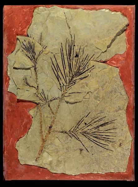 Voltzia Conifer Fossil Art Print