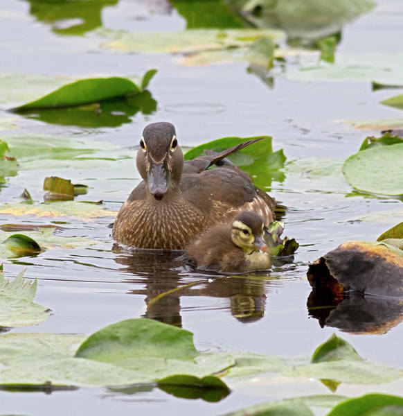 Baby Duck Photograph - Wa, Juanita Bay Wetland, Wood Ducks by Jamie and Judy Wild