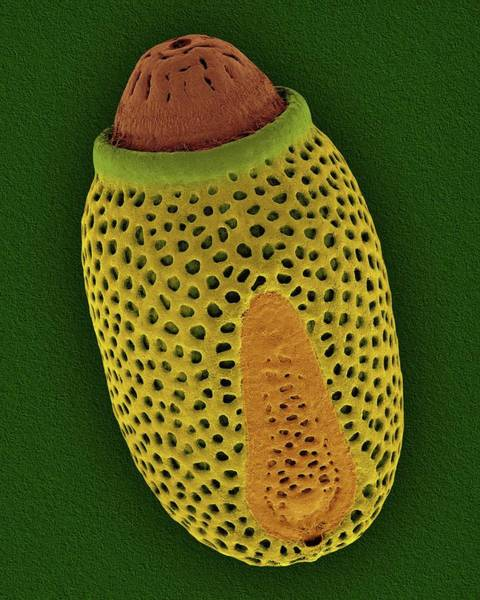 Pest Wall Art - Photograph - Walkingstick Egg Case by Dennis Kunkel Microscopy/science Photo Library