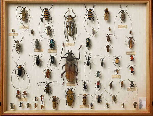 Biodiverse Wall Art - Photograph - Wallace Collection Beetle Specimens by Natural History Museum, London/science Photo Library