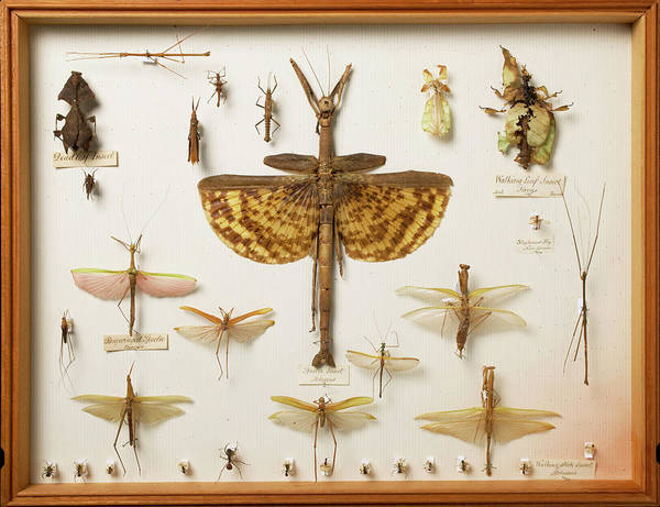 Biodiverse Wall Art - Photograph - Wallace Collection Insect Specimens by Natural History Museum, London/science Photo Library