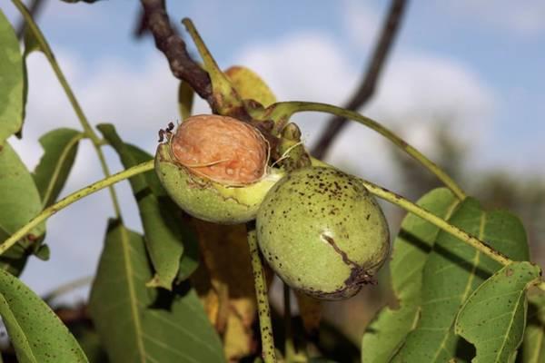 Walnut Photograph - Walnut (juglans Regia) by Brian Gadsby/science Photo Library