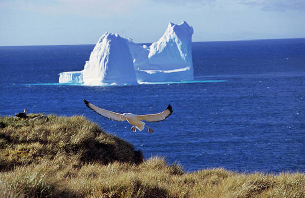 Wanderings Photograph - Wandering Albatross (diomendea Exulans by Martin Zwick