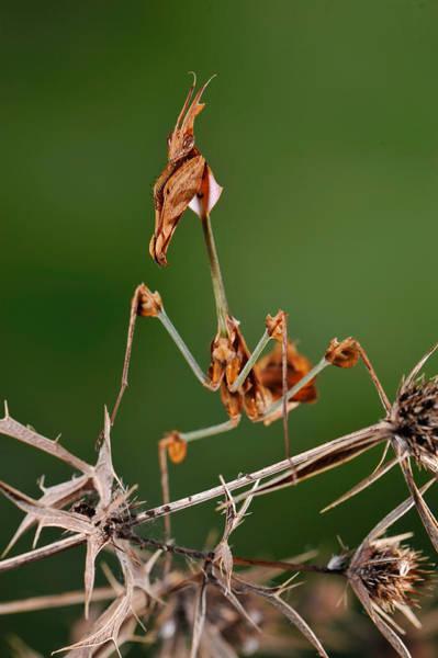 Photograph - Wandering Violin Mantis by Francesco Tomasinelli
