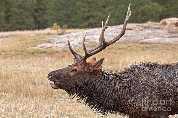 Photograph - Wapiti Elk Bugling In Rocky Mountain National Park by Fred Stearns