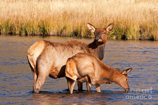 Photograph - Wapiti Elk Cow And Calf In Yellowstone National Park by Fred Stearns