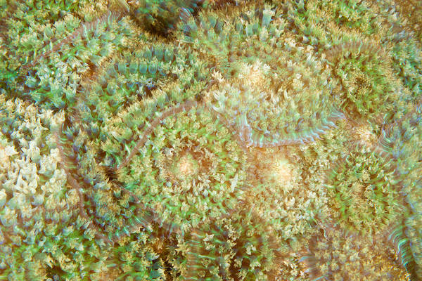 Tube Anemone Photograph - Warty Corallimorpharian by Andrew J. Martinez